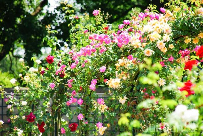 采水果&玫瑰园2