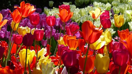 tulip-2787292_640